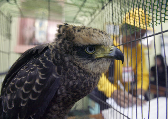 <p>A serpent eagle sits inside its cage at Manila's police district August 18, 2011. Police seized 69 mynah, 17 assorted turtles and a serpent eagle from illegal traders and turned them over to the Manila zoo, according to authorities. (Photo: Cheryl Ravelo/Reuters) </p>