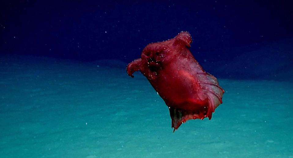 Australian scientists have filmed a 'headless chicken monster', a type of deep sea cucumber, in the Southern Ocean in Antarctica. Source: AAP