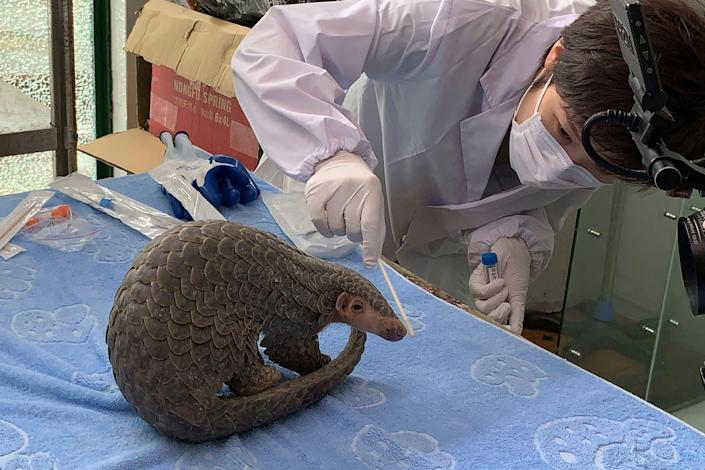 In this photo taken June 11, 2020, and released by CBCGDF, Sophia Zhang, a staffer from China Biodiversity Conservation and Green Development Foundation, or CBCGDF, collects oral and nasal secretion sample for testing from the Pangolin named Lijin at the Jinhua wild animal rescue center in eastern China's Zhejiang province. (CBCGDF via AP)