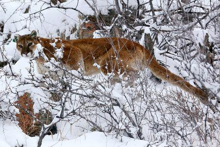 FILE PHOTO: A mountain lion makes its way through fresh snow in the foothills outside of Golden