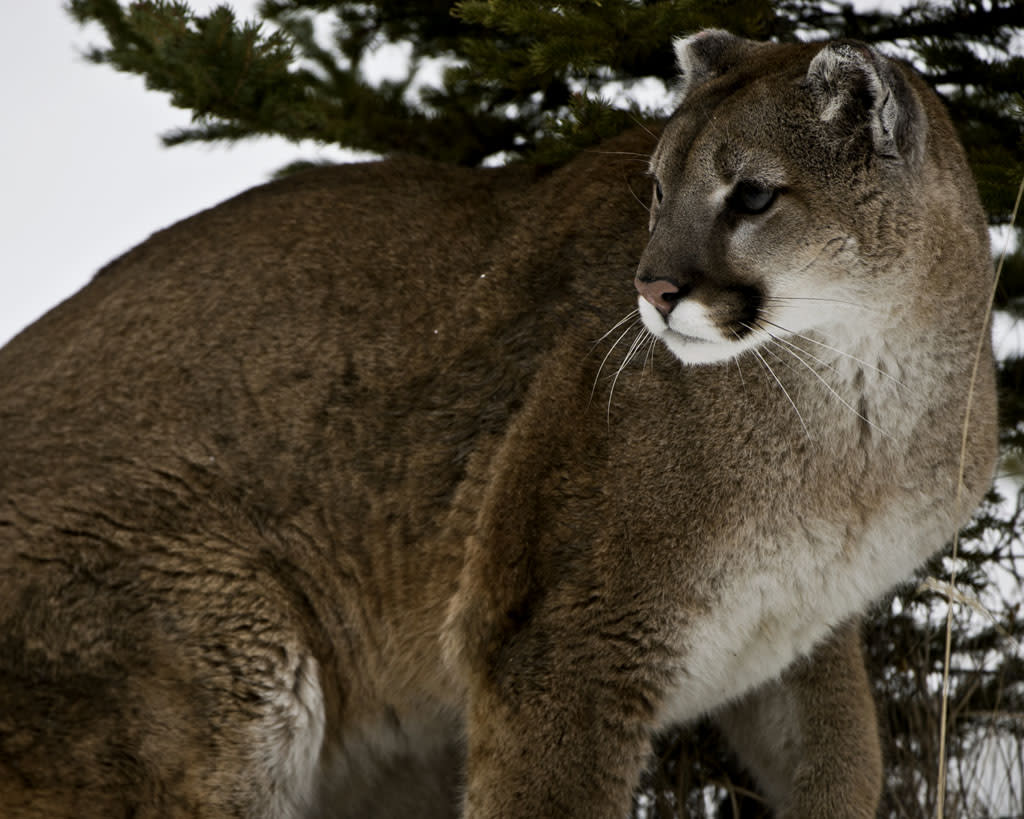Mountain LionMountain lions once roamed nearly all of the United States. They were prized by hunters and despised by farmers and ranchers who suffered livestock losses at their hands.(Photo is from Stalking the Mountain Lion ? Wed at 8)