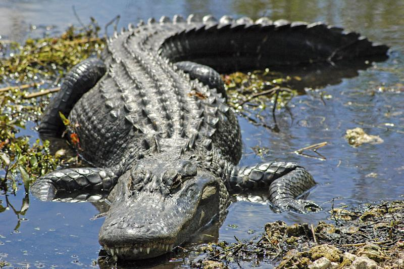 An alligator suns himself by the Anhinga Trail, in Everglades National Park. He has a bit of an overbite
