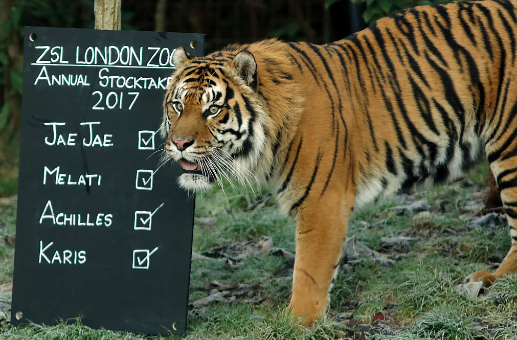<p>A Sumatran Tiger stands next to a board placed in its enclosure to make sure everyone is accounted for. (Pic: Getty) </p>