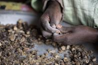 In this Saturday, Aug. 6, 2016 photo, a woman sorts raw frankincense gum in Burao, Somaliland, a breakaway region of Somalia. The last wild frankincense forests on Earth are under threat as prices rise with the global appetite for essential oils. Overharvesting has trees dying off faster than they can replenish, putting the ancient resin trade at risk. (AP Photo/Jason Patinkin)