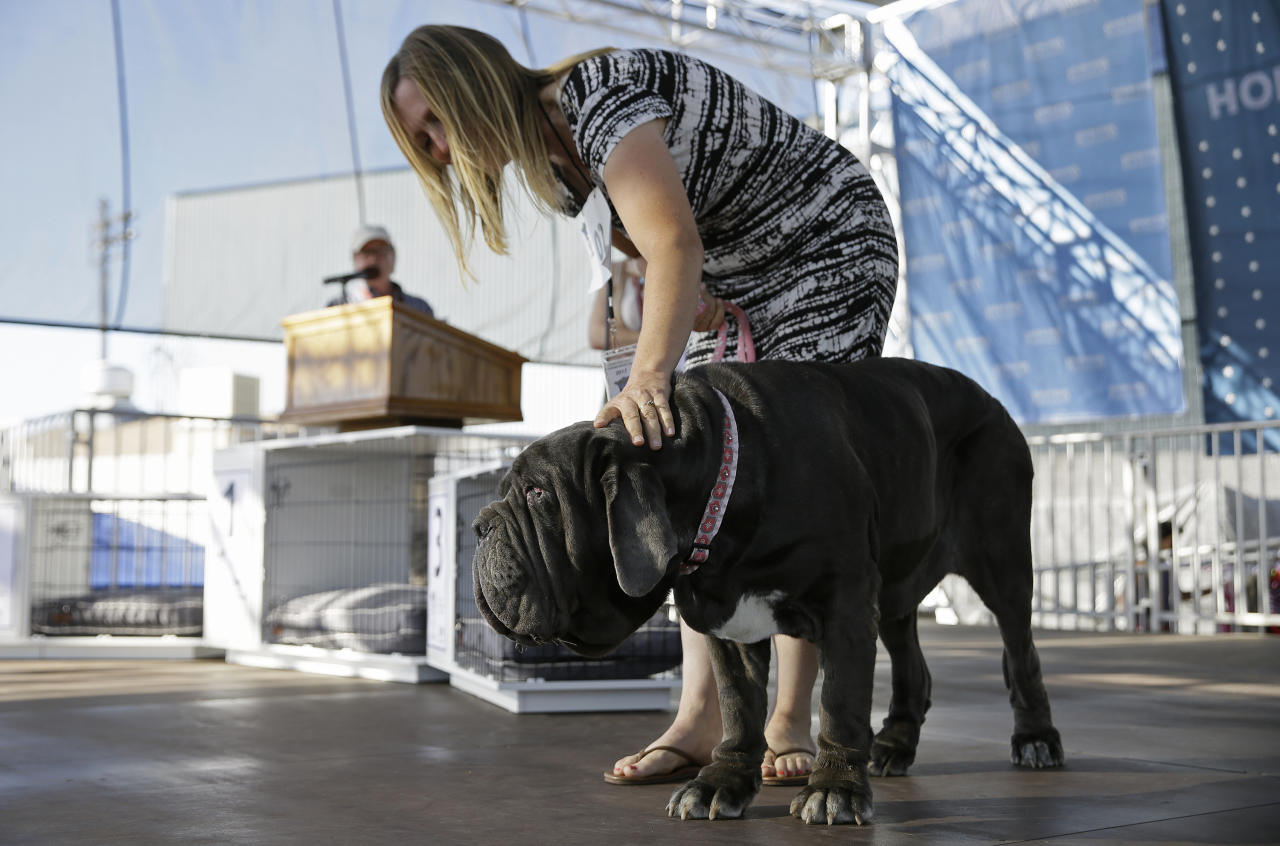 Martha, a Neapolitan mastiff, competes while being escorted by Shirley Zindler in the World's Ugliest Dog Contest at the Sonoma-Marin Fair on Friday, June 23, 2017, in Petaluma, Calif. Martha was named the winner of the contest. (AP Photo/Eric Risberg)