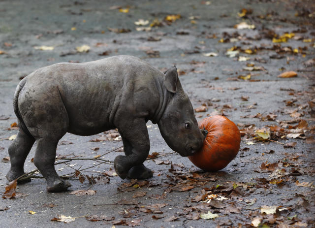 <p>A newly born eastern black rhino plays with a pumpkin in its enclosure at the zoo in Dvur Kralove, Czech Republic, Wednesday, Oct. 25, 2017. (Photo: Petr David Josek/AP) </p>