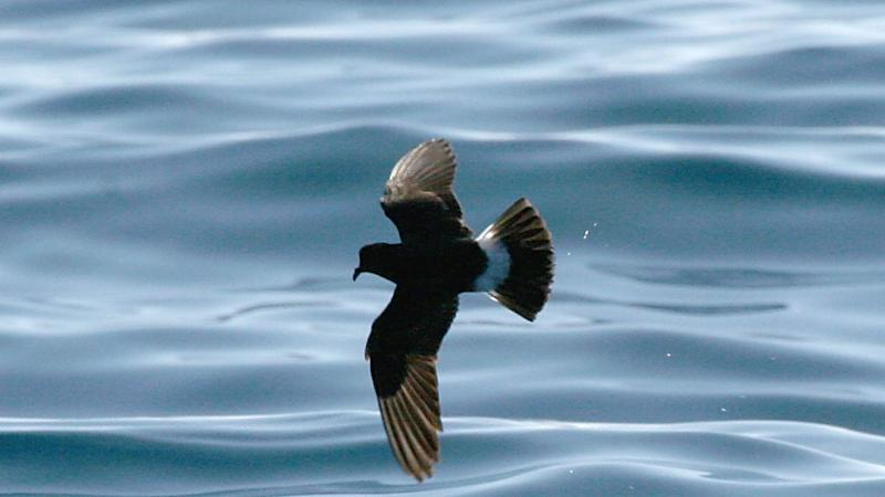 GPS tags used to track UK's smallest sea birds