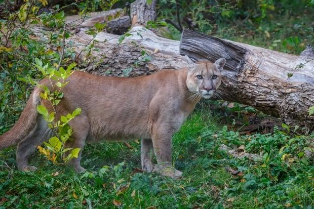 Cougars, like the one pictured here, live across the southern third of B.C. Encounters with humans are rare, let alone attacks.  (Shutterstock / ovbelov - image credit)