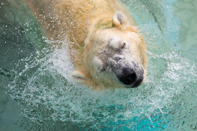 Polar bear Inuka put down at 27 on 'humane and welfare grounds'