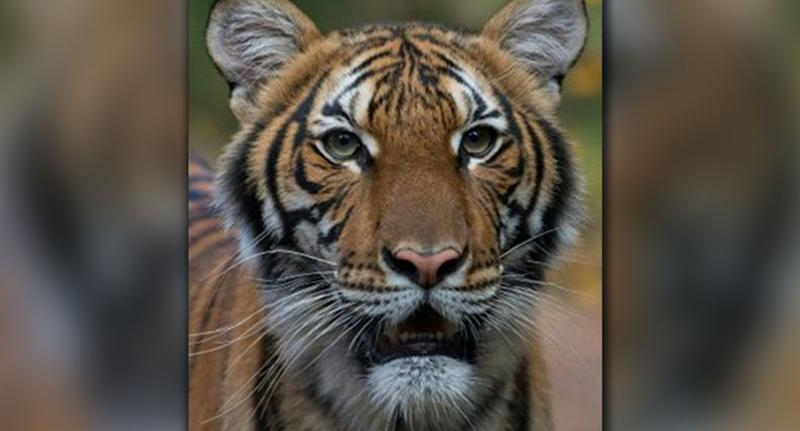 Nadia the tiger (pictured) has contracted coronavirus. Source: AFP