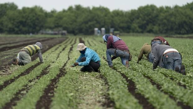 Temporary foreign workers can spend their 14 days in isolation at the farms where they'll work, instead of hotels.  (Ivanoh Demeres/Radio-Canada - image credit)