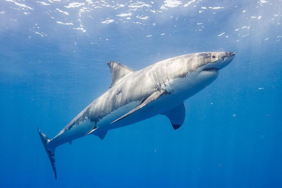 A great white swimming