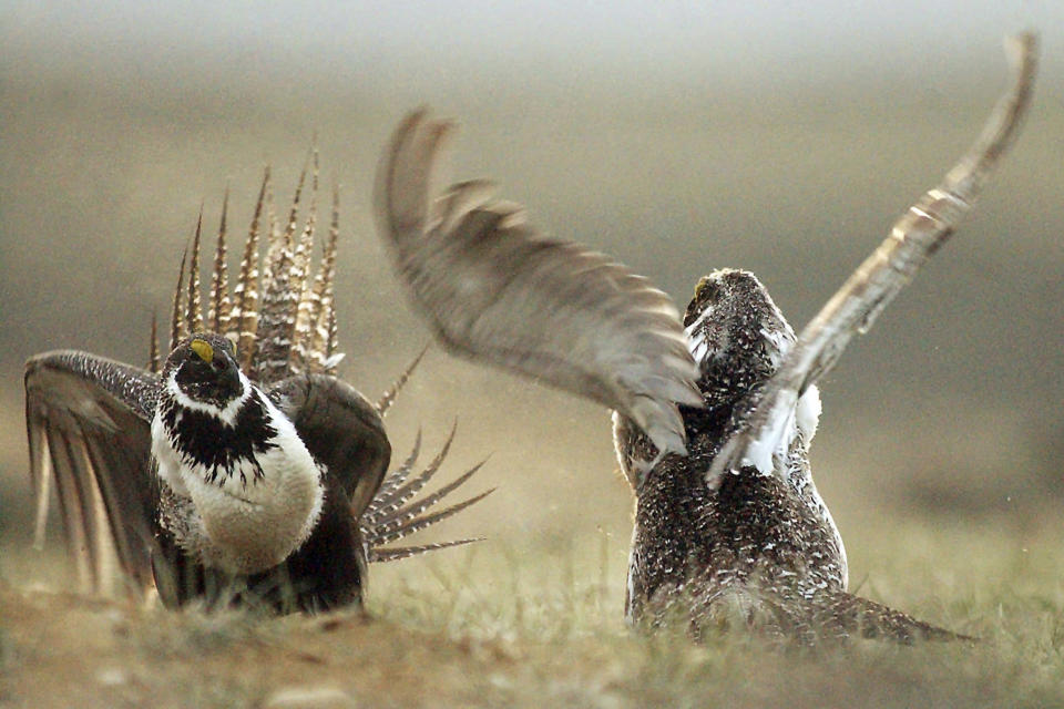 FILE - In this May 9, 2008, file photo, male sage grouses fight for the attention of females southwest of Rawlins, Wyo. Environmentalists have filed a notice of intent to sue the U.S government to block plans to build up to 11,000 miles (17,700 kilometers) of fuel breaks they claim would violate the Endangered Species Act in a misguided effort to slow the advance of wildfires in six Western states. (Jerret Raffety/The Rawlins Daily Times via AP, file)