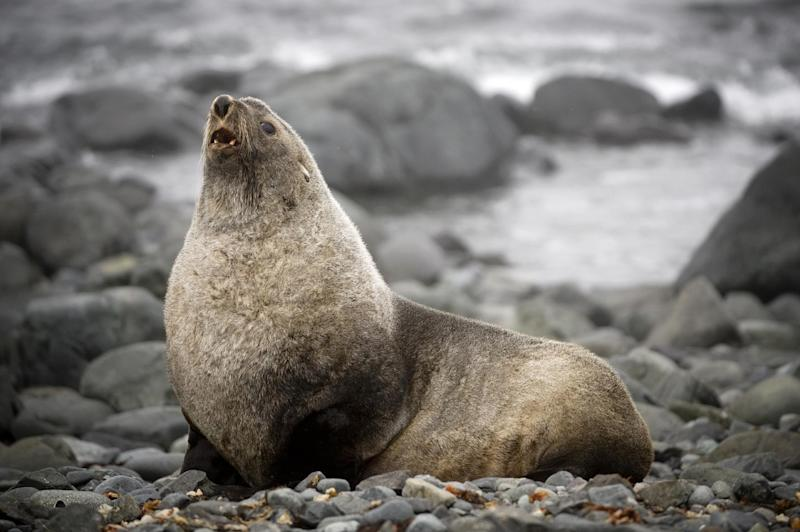 A fur seal on the shore of King George Island, Antarctica on October 28, 2008