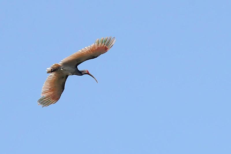 The crested ibis was last seen in the wild in 1979 in the Demilitarized Zone dividing the peninsula