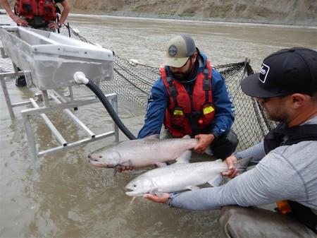 Migrating salmon are held during a tagging operation near the Big Bar landslide