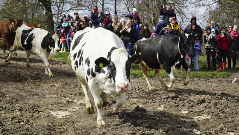 """Dairy cows are released into open fields for the lush summer pastures, freed from the stables which have been their homes for the long winter months, in Drottningholm, Sweden, Saturday, April 29, 2017. The annual event, known in Sweden as """"koslapp"""" or cow release, has become a popular family outing for many urban dwellers. (AP Photo/David Keyton)"""
