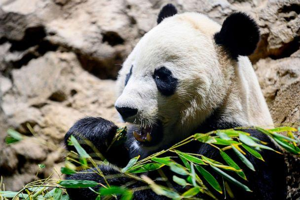PHOTO: Giant panda Bei Bei eats bamboo at the Smithsonian's National Zoo in Washington, D.C., Nov. 14, 2019. (Jim Watson/AFP/Getty Images)