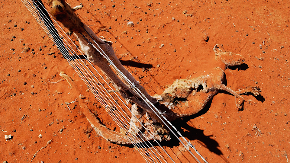 A kangaroo dead against an exclusion fence