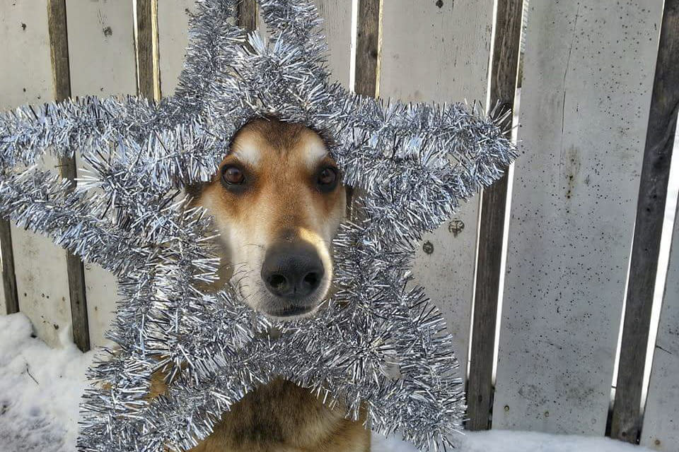 <p>Toby balances a Christmas star on his head. (Photo: Pat Langer/Caters News) </p>