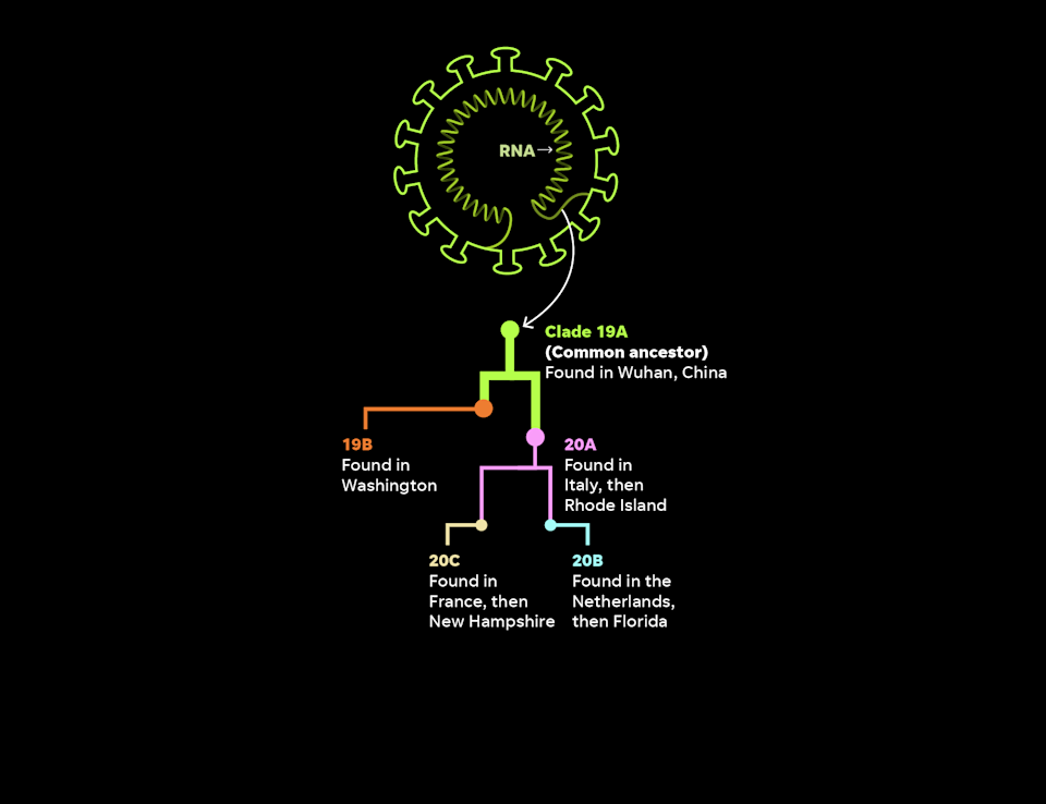 Scientists can trace specific coronavirus cases back through time, like a family tree. Cases are organized into genetic groups called clades, which are like large families.