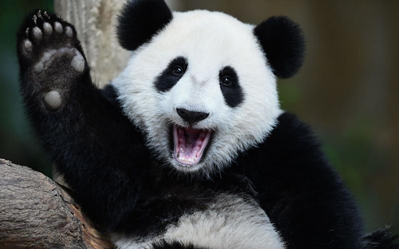Giant Pandas are no longer endangered - AFP