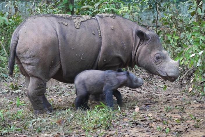 Sumatran rhino Ratu with her one-day old male baby Andatu beside her at the Sumatran Rhino Sanctuary in Way Kambas National Park in Lampung, Sumatra island, in a photo released by the Indonesian Ministry of Forestry on June 25, 2012 (AFP Photo/)