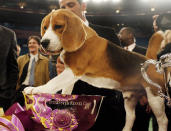 FILE - In this Feb. 12, 2008, file photo, Uno, a 15-inch beagle, poses with his trophy after winning Best in Show at the 132nd Westminster Kennel Club Dog Show at Madison Square Garden in New York. Beagles had always been in the Westminster doghouse. No matter how cute, poor ol' Snoopy had never, ever won the grand prize. Bow-wow bummer. (AP Photo/Jason DeCrow, File)