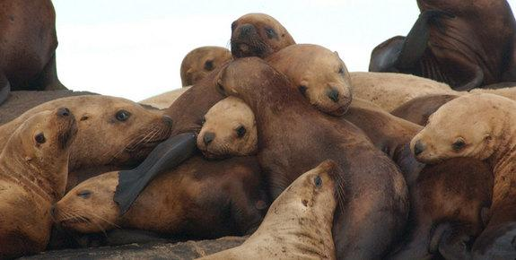 Sea Lion Species Removed from Endangered Species List