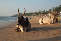 "<p><a href=""http://www.danielmcbane.com/india/holy-cows-on-beaches-in-goa/"" rel=""nofollow noopener"" target=""_blank"" data-ylk=""slk:Arjuna Beach"" class=""link rapid-noclick-resp"">Arjuna Beach</a> in Goa, India is typically a bustling seaside spot with plenty of nightlife in addition to places to lay out in the sun, but what separates it from other beaches on this list is the addition of cows. Considered <a href=""https://www.britannica.com/topic/sanctity-of-the-cow"" rel=""nofollow noopener"" target=""_blank"" data-ylk=""slk:sacred"" class=""link rapid-noclick-resp"">sacred</a> in the locally prevalent Hindu faith, these cows are free to do as they please on the beach until sunset, when they return inland.</p>"