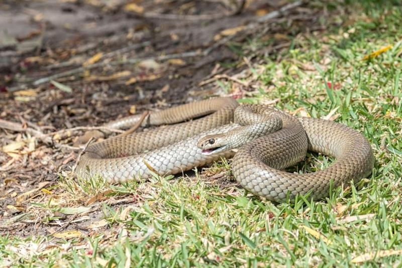 The brown snake is one of the most venomous snakes in the world. Photo: Getty