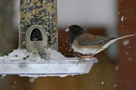 A bird picks seeds out of the snow in a feeder tray, Saturday, Feb. 13, 2021, in Olympia, Wash. Some areas of the Puget Sound area got more than a foot of snow Saturday, and winter weather is expected throughout the Seattle region through the weekend. (AP Photo/Ted S. Warren)