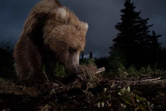 """<b>Honorable Mention: Ursus arctos horribilis</b> <br> This photo of a wild, Alaskan, brown bear digging on a game trail was taken with a home made motion controlled triggering device hooked up to my DSLR. <a href=""""http://ngm.nationalgeographic.com/ngm/photo-contest/"""" rel=""""nofollow noopener"""" target=""""_blank"""" data-ylk=""""slk:(Photo and caption by Jason Ching/National Geographic Photo Contest)"""" class=""""link rapid-noclick-resp"""">(Photo and caption by Jason Ching/National Geographic Photo Contest)</a>"""