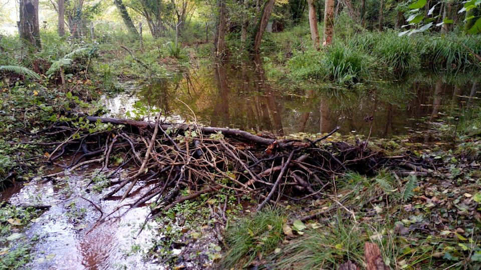 Under construction: The new beaver dam at Holnicote Estate in Exmoor, SomersetSally Robinson/National Trust