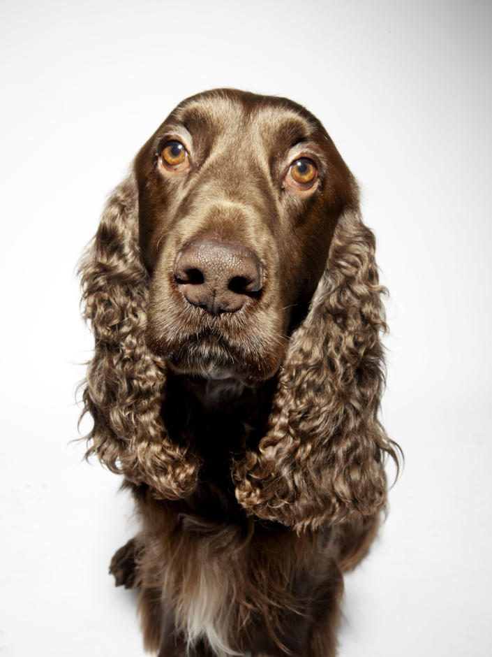 Portrait of a Field Spaniel Dog