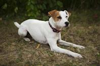 """<div class=""""caption-credit""""> Photo by: BARBARA O'BRIEN, ANIMAL PHOTOGRAPHY</div><div class=""""caption-title"""">Jack Russell Terrier</div>He digs, he barks, he runs, he jumps. The <a href=""""http://www.vetstreet.com/dogs/jack-russell-terrier-parson-russell-terrier"""" rel=""""nofollow noopener"""" target=""""_blank"""" data-ylk=""""slk:Jack Russell"""" class=""""link rapid-noclick-resp"""">Jack Russell</a> (or Parson Russell if you live on the AKC side of the fence) is hardwired to be active and needs a full-time activity director to keep him busy in constructive, and not destructive, ways. He does best when he is kept busy hunting rats on a farm or competing in terrier races and earthdog tests. Jack Russells can even make great jogging partners, but some joint and neuromuscular problems can occur in the breed, so get a healthy go-ahead from your vet first."""