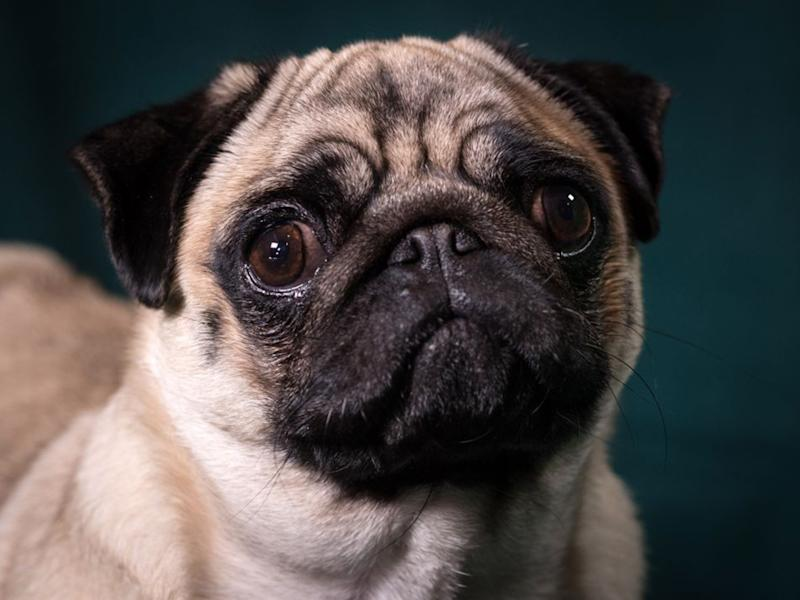 A pug poses for a photograph on the second day of Crufts. Pugs are one of several breeds with severe breathing difficulties due to selective breeding: Getty Images