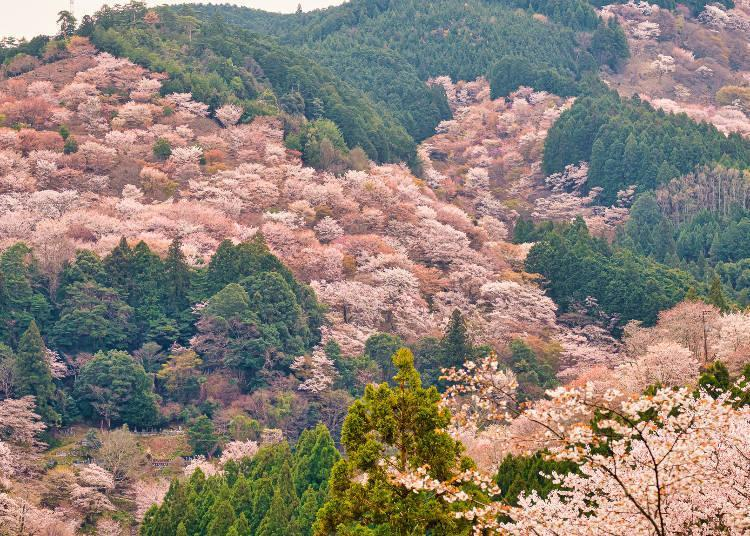 The magnificent view of Mt. Yoshino covered with cherry blossoms