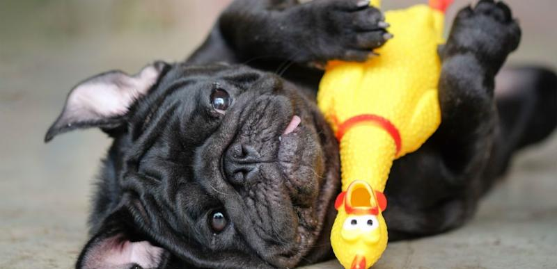 Black French bulldog playing with rubber chicken toy.
