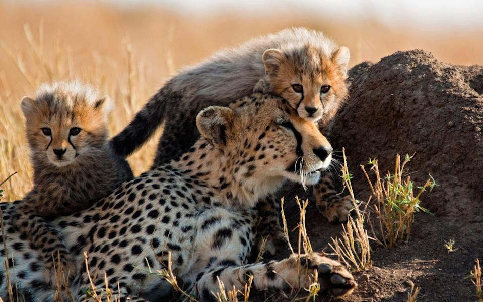 Experts fear travel restrictions could spell the end of cheetahs in the wild - Getty