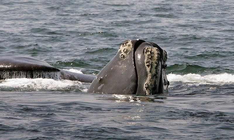 Ottawa imposes new rules to protect fragile population of right whales