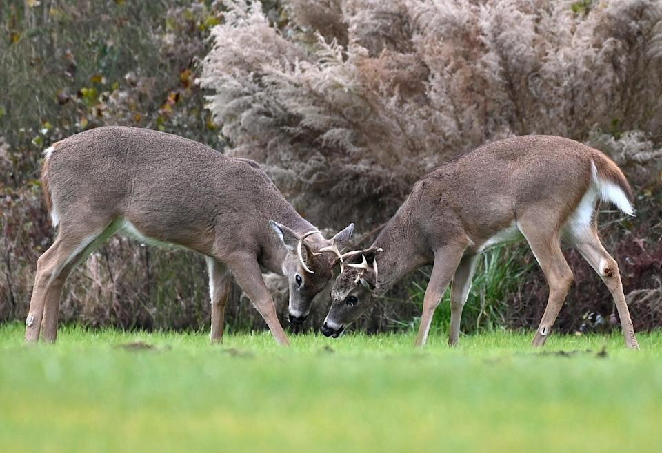 File: Two white-tailed deer bucks seen at Cape Henlopen State Park in Delaware (AFP via Getty Images)