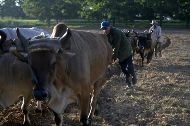 Farmers use oxen to plough land in Cuba, which has been hit by a fuel shortage (AFP Photo/YAMIL LAGE)
