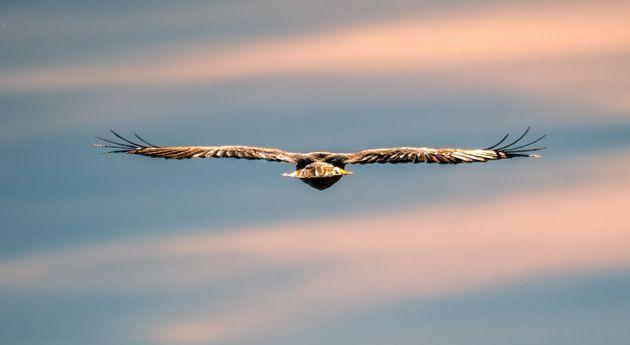 Boise, ID, USA - May 26, 2021: A red tailed hawk flying across the sky in the late spring season (Photo: Darwin Fan via Getty Images)