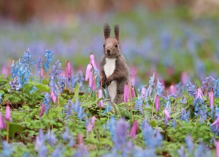 An ezo red squirrel in a field of Asian fawnlilies