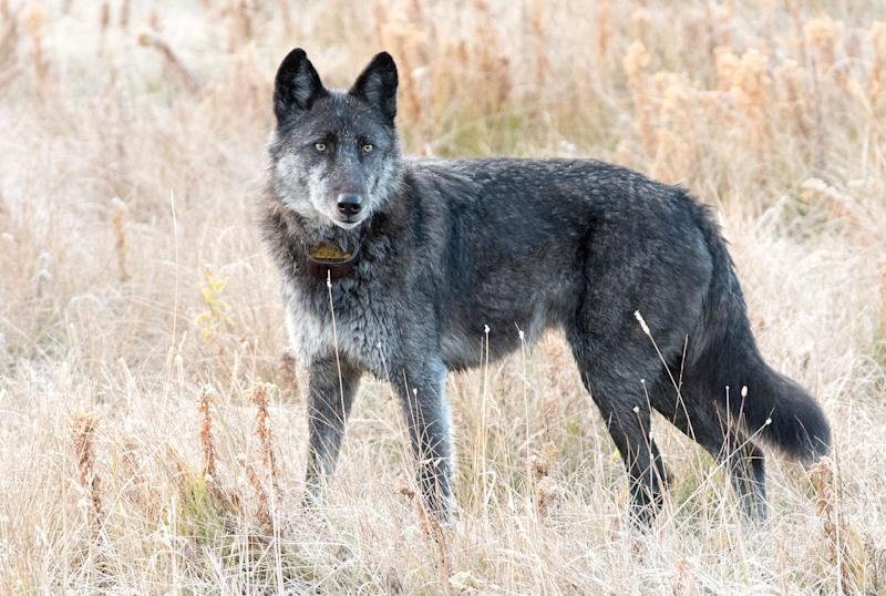 Famous Yellowstone Wolf Shot and Killed by Trophy Hunter, 6 Years After the Animal's Mother Suffered the Same Fate