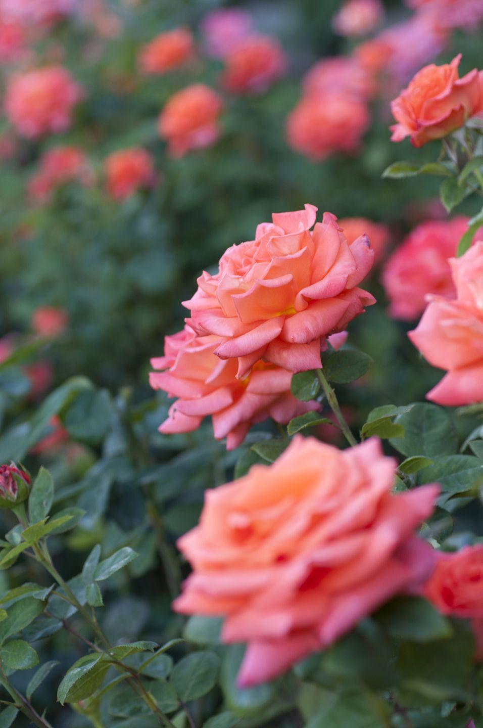 """<p>Walk among thousands of roses at the <a href=""""https://go.redirectingat.com?id=74968X1596630&url=https%3A%2F%2Fwww.tripadvisor.com%2FAttraction_Review-g40424-d665769-Reviews-Gardens_of_the_American_Rose_Center-Shreveport_Louisiana.html&sref=https%3A%2F%2Fwww.redbookmag.com%2Flife%2Fg36983852%2Funderrated-attractions-by-state%2F"""" rel=""""nofollow noopener"""" target=""""_blank"""" data-ylk=""""slk:Gardens of the American Rose Center"""" class=""""link rapid-noclick-resp"""">Gardens of the American Rose Center</a> in Shreveport. Peak bloom time is mid-April to late-May, then mid-September to mid-October. </p>"""