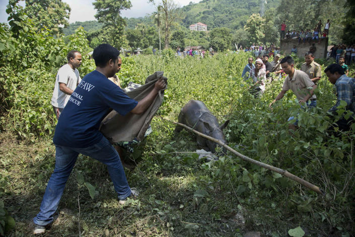 <p>Indian forest officials and wildlife conservationists try to catch a baby Rhino that strayed into an adjacent village following floods at the Kaziranga National Park, east of Gauhati, northeastern Assam state, India, July 28, 2016. (Photo: Anupam Nath/AP)</p>