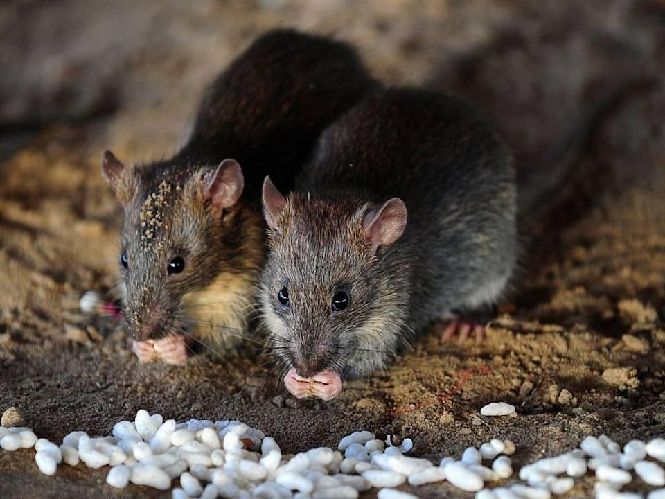 Winter is coming — find yourself some shelter and food, rats! (Sanjay Kanojia/AFP via Getty Images - image credit)