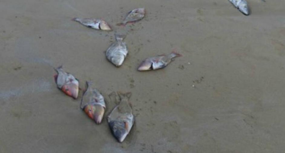 Dead fish pictured on a Queensland beach.